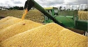 52 مليون قنطار حصيلة إنتاج الحبوب لموسم 2018_2019