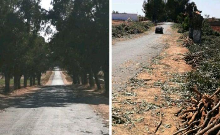 الجديدة:  مجزرة  في حق البيئة بقطع مئات الأشجارعمرها حوالي 100 سنة